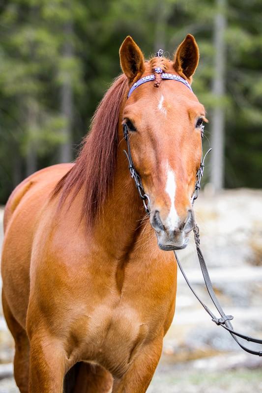 Hevonen nimeltä Tulipiippu. Mikkeli. Kuva Suvi Nieminen.