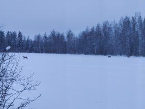 Talvimaisema ja peuroja Eveliina Mäenpään ikkunasta. Mäntyharju.